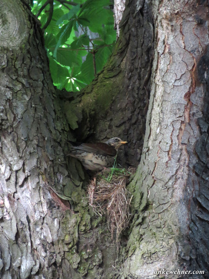 Photo of a fieldfare on its nest