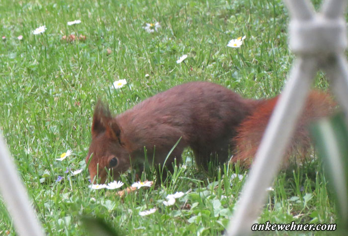 Photo of a red squirrel foraging on a lawn