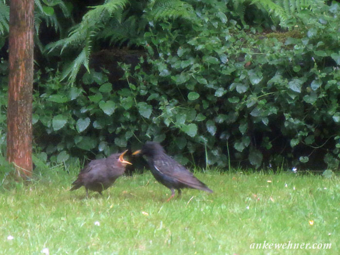 Photo of an adult starling feeding a juvenile one