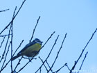 photo of a blue tit sitting on a bare twig
