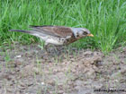 Photo of a fieldfare foraging on the ground