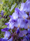 Photo of pale violet wisteria flowers