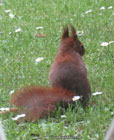photo of a red squirrel sitting on a lawn