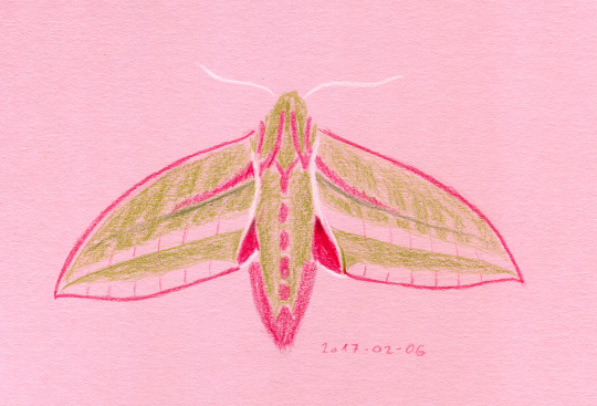 An elephant Hawk Moth (olive and magenta with small areas of white) drawn using coloured pencils on pink paper.