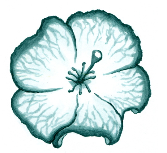 A bloom similar in structure to a hibiscus bloom, the petals being white with light teal veins shading into dark teal at the edges