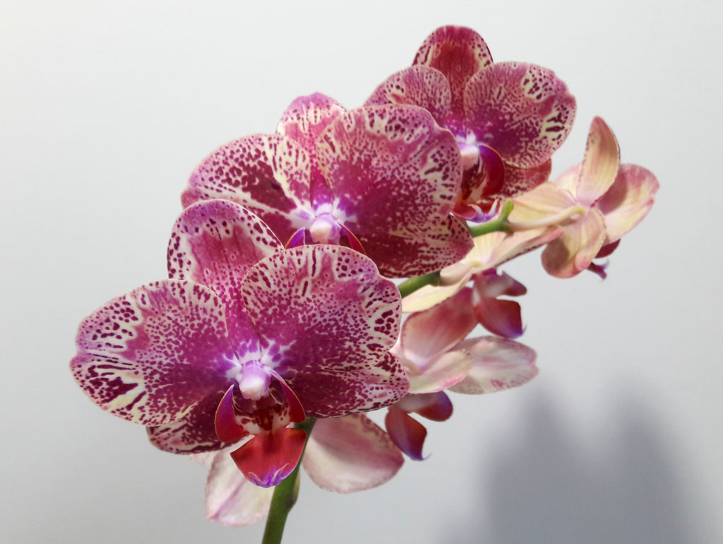 Photo of a bunch of orchid flowers.