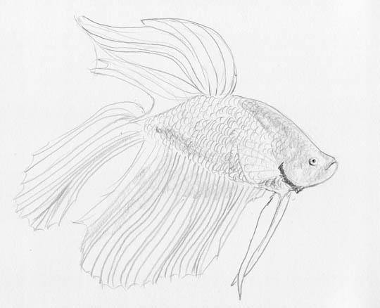Pencil sketch of a betta, aka Siamese fighting fish.