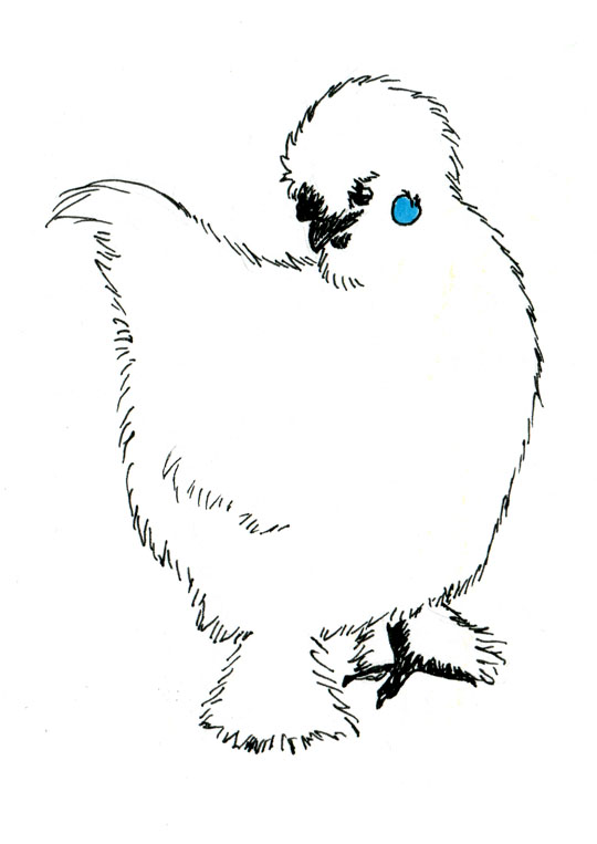 Ink drawing of a very fluffy, white chicken with black feet and beak and a blue earlobe
