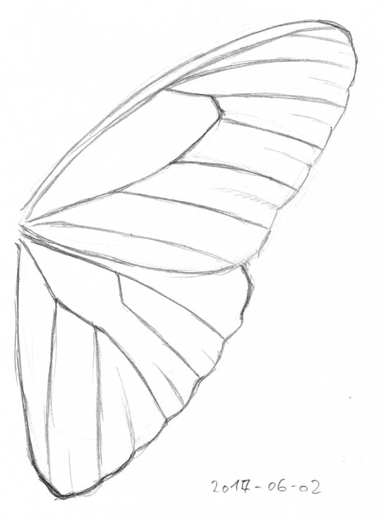 Pencil sketch of the right fore- and hindwing of a blue morpho, showing only outlines and venation.