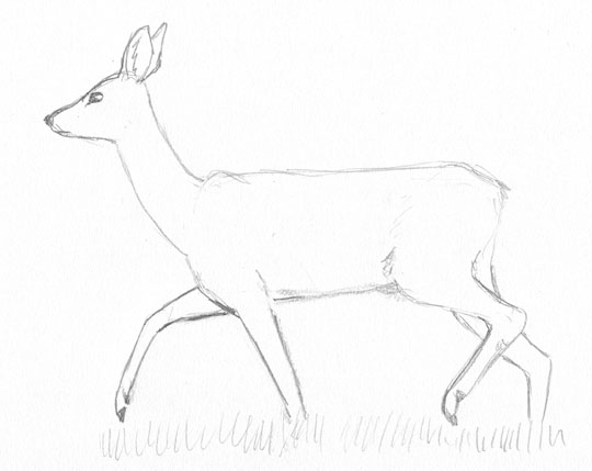 Sketch of a female roe deer walking
