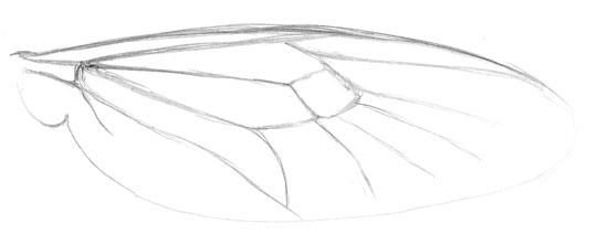 Pencil sketch of the wing of a soldier fly