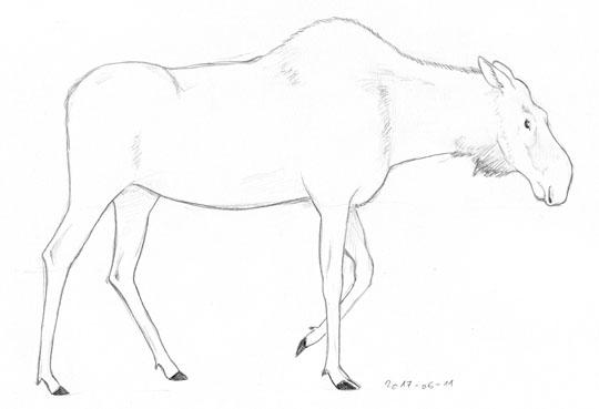 Sketch of a moose cow.