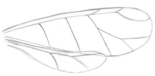 Pencil sketch of aphid wings