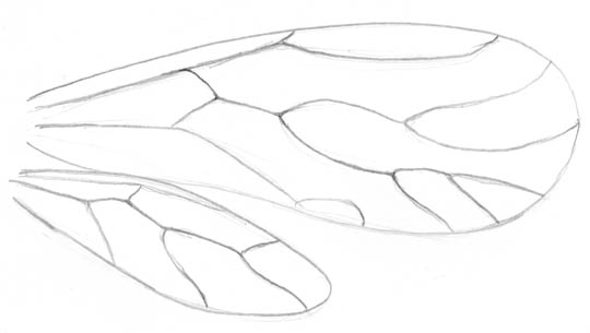 Pencil sketch of the shape and veins of the right wings of a species of book louse