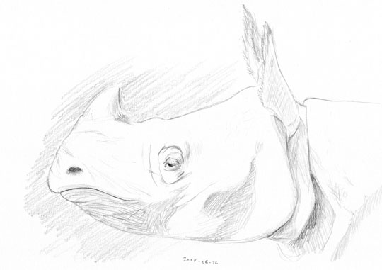 Pencil sketch of a rhinoceros head in profile