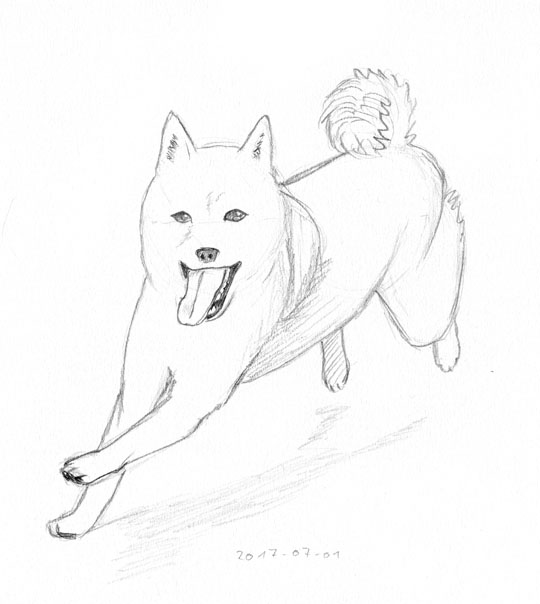 Pencil sketch of a shiba inu running towards the left of the viewer