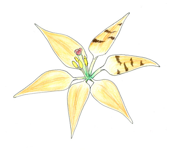 Work in progress of a drawing showing an orange lily with narrow petals.