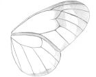 Sketch of the fore-and hindwing of a glasswing butterfly, greta oto