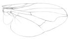 Sketch of a housefly wing