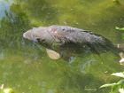 A photo of a large, grey carp swimming close to the surface or greenish water.