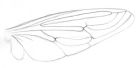 Sketch of the wing of a mydas fly