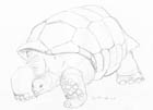 Pencil sketch of a giant tortoise