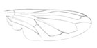 Pencil sketch of a pellucid fly wing
