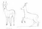 Two sketches of roe bucks