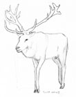 Sketch of a red deer stag in 3/4 view walking towards the viewer.