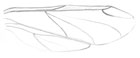 Pencil sketch of a pair of wings of the wooly aphid
