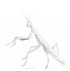 Pencil sketch of a praying mantis