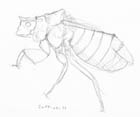 Pencil sketch of an ambush bug.