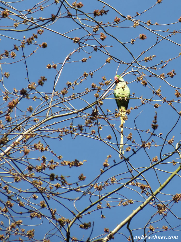 Photo of a ring-necked parakeet in a bare tree