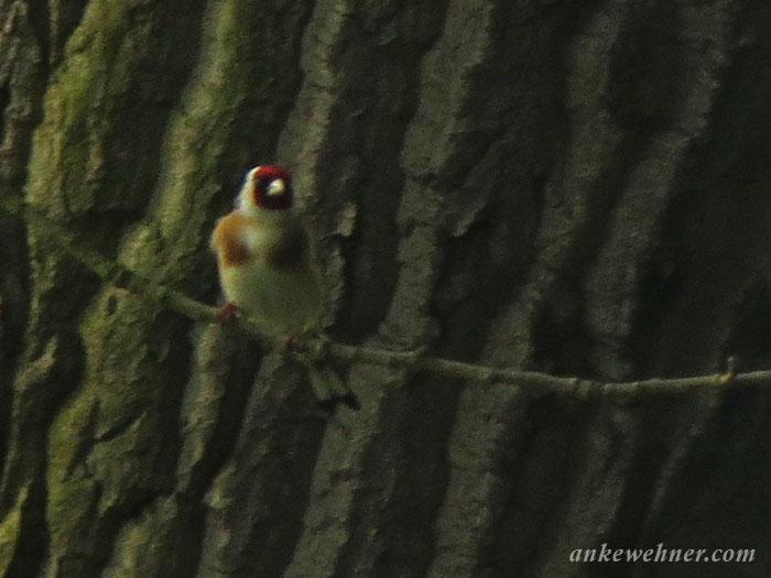 photo of a european goldfinch