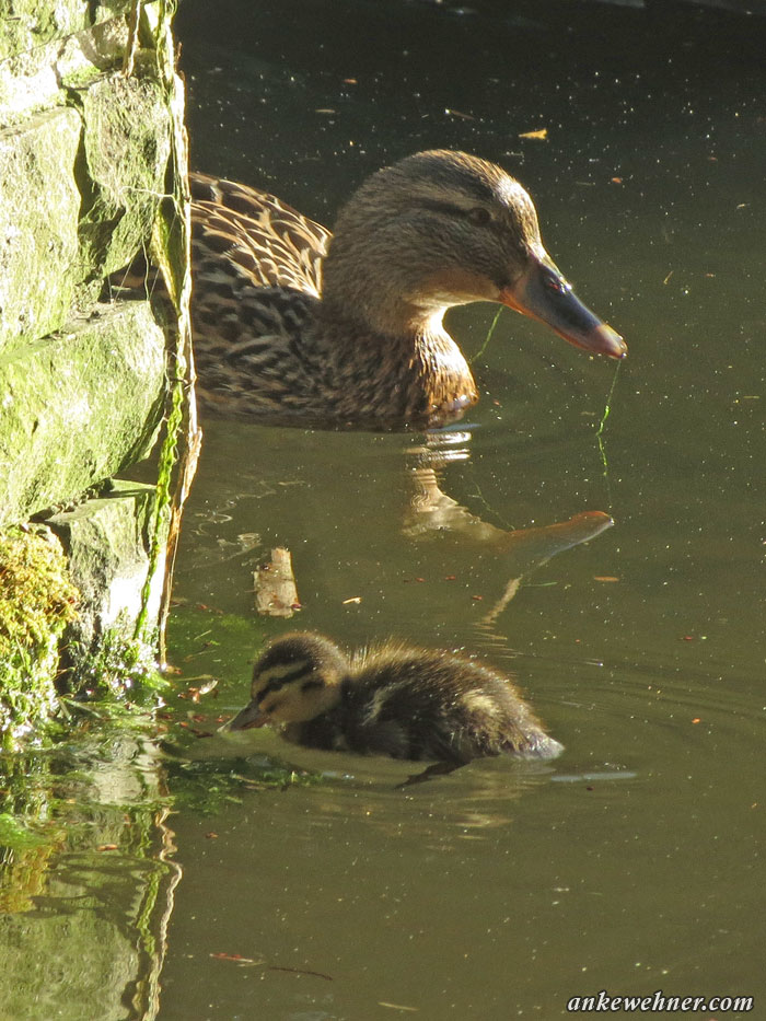 Photo of a mallard duckling and its mother