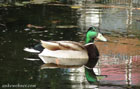 Photo of a male mallard swimming
