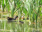 Photo of an adult moorhen and three chicks